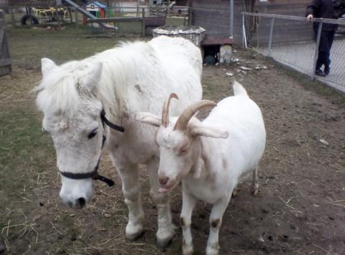 Ziege und Pony